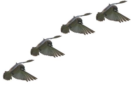ashy: Ashy Woodswallow Bird flying on air as background