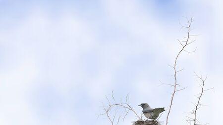 perching: Ashy Woodswallow Bird perching on nest as background Stock Photo