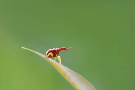 giraffa: Trachelophorus giraffa (Thailand specie) ,Beetle bug perching on green leaf as background
