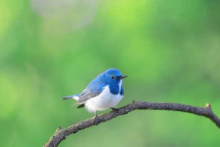 ultramarine: Ultramarine flycatcher ,Beautiful bird perching on branch as background