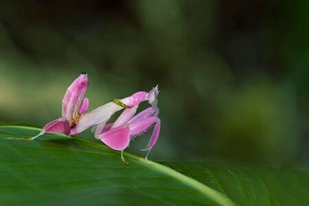 蘭カマキリ、動物背景としてピンクのバッタ
