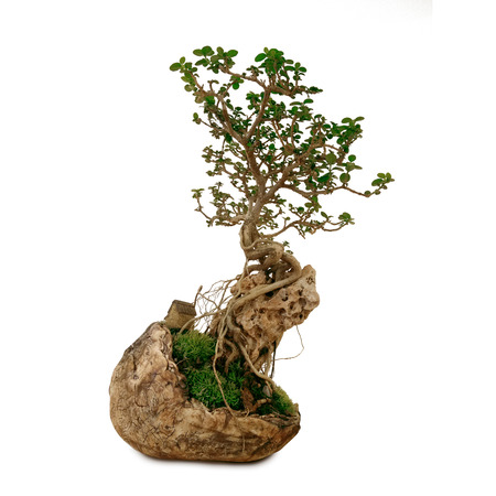 clay pot: bonsai in clay pot on isolate white background