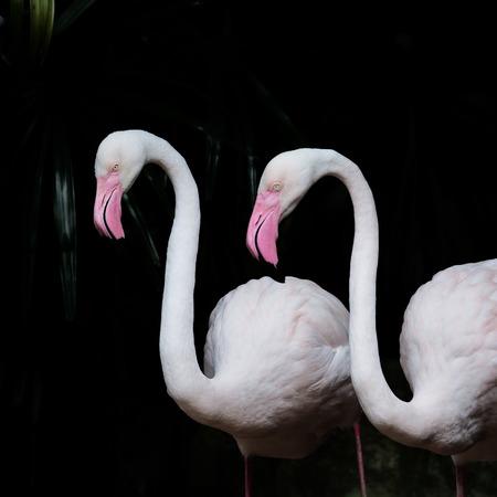 greater: GREATER FLAMINGO,  Greater Flamingo as background