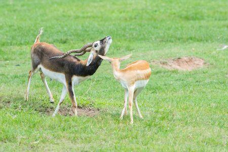 grants: Male and female Grants gazelles in breeding behavior Stock Photo