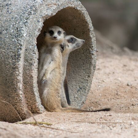 life guard stand: meerkat in zoo