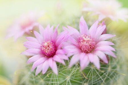 Beautiful pink cactus flower blooming in garden