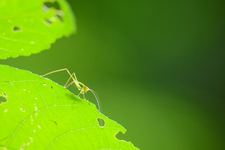 Beautiful grasshopper standing on green leaf as background Stock Photo