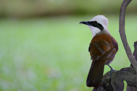 White-crested laughingthrush perching on branch as background Stock Photo