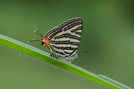 silverline: The Small Long-banded Silverline ,Beautiful butterfly as background
