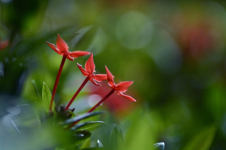 Red flowers name is Rubiaceae blooming over tree Stock Photo