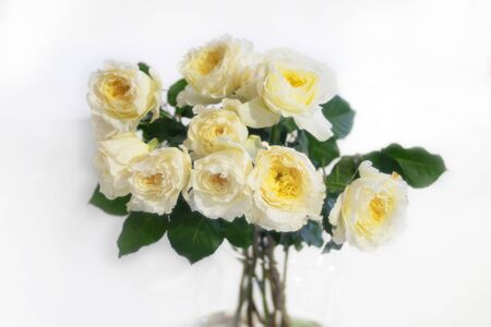Beautiful alabaster rose flower as flowers background. Reklamní fotografie