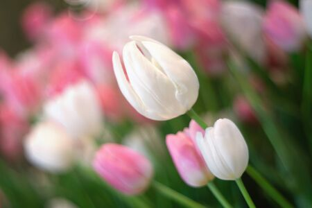 White tulips flower blossom as floral background 写真素材