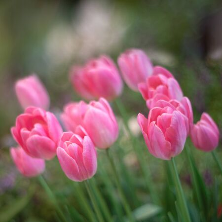 Colorful of couple pink tulips against sunlight as floral background 写真素材