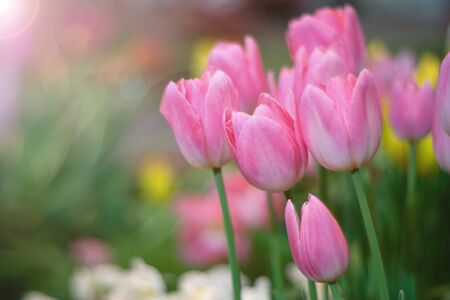 Colorful of group of pink tulips against sunlight and flare as floral background