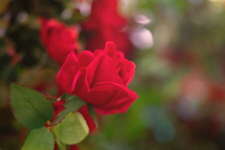 Artificial rose flower as valentine background