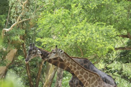 Two Giraffes, adult and juvenile giraffe under tree in forest