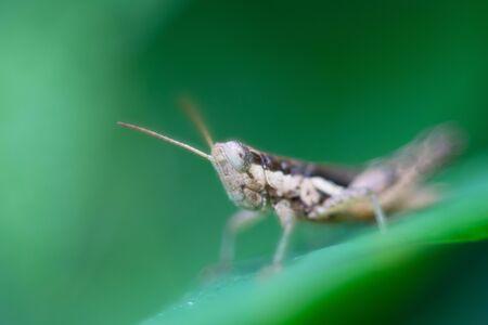 Grasshopper perching over grass as background