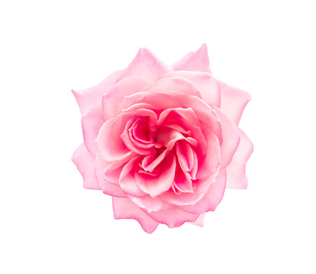 Pink rose isolated Banque d'images