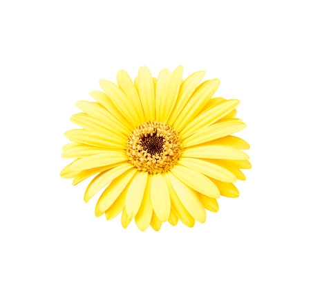 etch: Yellow african daisy isolated