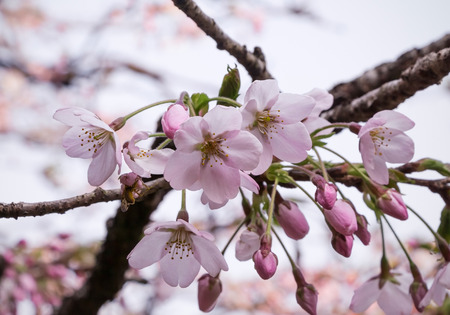 blooms: sakura cherry blossom flower and flower bud on its tree branch Stock Photo