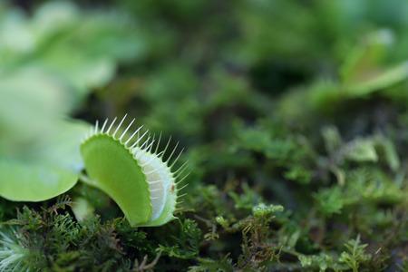 venus: Venus flytrap - carnivorous plant