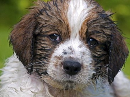 Wet head of a Kooikerhondje puppy dog eight weeks old photo
