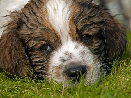 Wet head of a Kooikerhondje puppy dog eight weeks old, lying in the grass photo