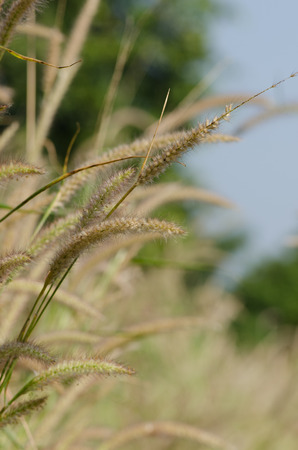cane plumes: Pampas grass Stock Photo
