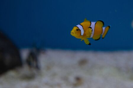 Beautiful clown fish nemo in aquarium displaying, Lake Chakaw