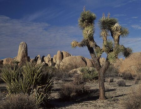 joshua: Joshua Tree National Park, UT. Joshua Trees & granite boulders Stock Photo
