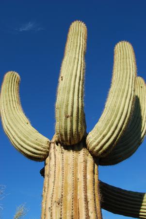 サグアロ サボテン (carnegiea 子実) 70 フィートまで成長することができ、100 年以上住むことができます。彼らは南部のアリゾナ州のソノラ砂漠を中心