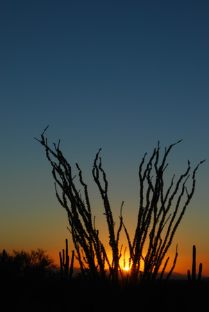 ocotillo: Sunset in the Sonoran Desert. The ocotillo plant (fouquieria splendens) has long spiny stems which bloom from Mar - Jun. The plant has a lifespan of approx 60 yrs and grows as tall as 20 feet. Stock Photo