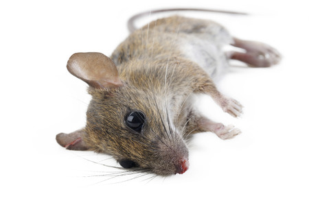 dead rat: dead rat on white background