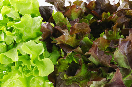 looseleaf: close up of green and red oak lettuce Stock Photo