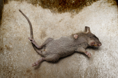 dead rat: rat die on ground