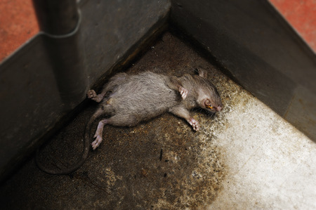 dead rat: dead rat