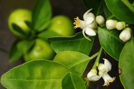 lime blossom: Lime with lime blossom