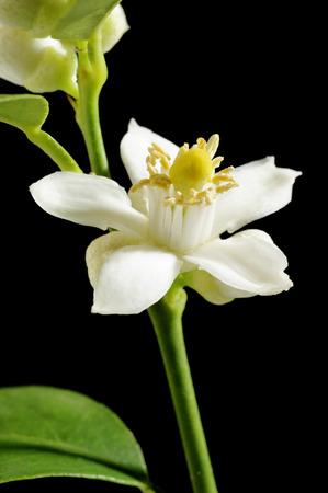lobe: lime blossom