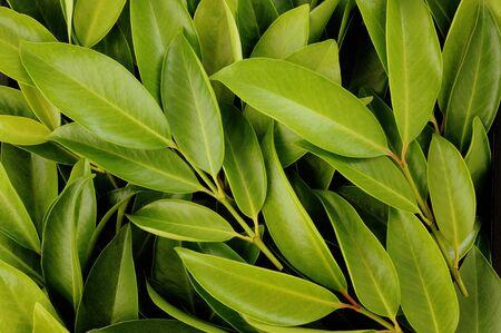 asian flavors: Chamuang leaves (Garcinia Cowa Roxb.) background