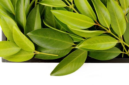 asian flavors: Chamuang leaves (Garcinia Cowa Roxb.) on white background