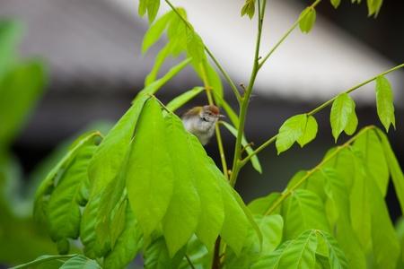 preening: Tailorbird preening