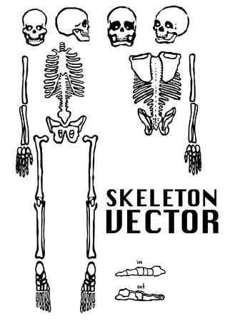 x ray image: skeleton vector