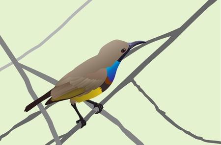 aves: sunbird vector