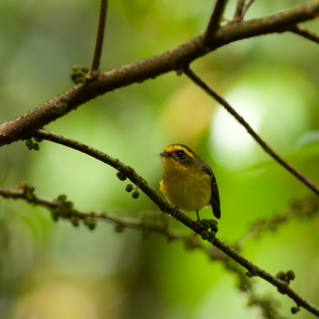 named: Little bird named yellow-bellied fantail