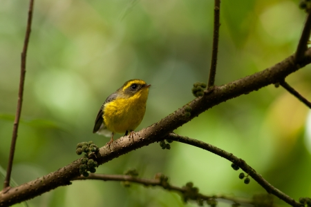 Little bird named yellow-bellied fantail Stock Photo - 17242386