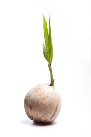 coconut seedlings: coconut sprout Stock Photo