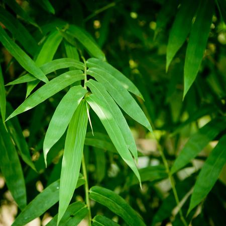 bamboo leaf background photo