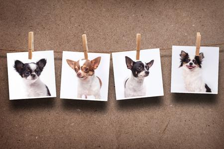 Chihuahua accrocher les photos Banque d'images - 26484216