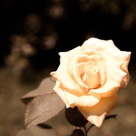 rose vintage background photo