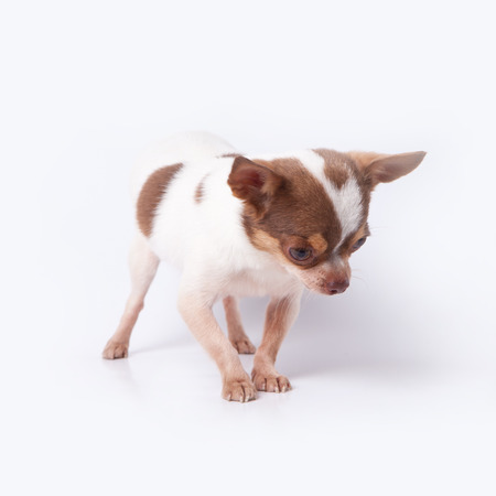 scaring: lovely chihuahua portrait scaring or fear of something on white floor Stock Photo